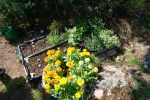 Och i dagsläget. Blommorna har slagit ut, citrontimjan och oreganon har växt till sig och jordgubbarna frodas.